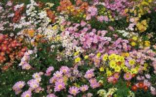 Корейская хризантема: описание сортов и выращивание