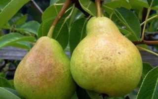Груша любимица Яковлева: описание сорта, особенности выращивания, уход и отзывы