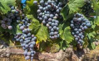 Прививка винограда весной для начинающих