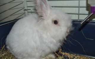 Ангорский кролик: как содержать и разводить