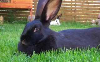 Черно бурый кролик — история породы, внешние характеристики, особенности, размножение, питание, фото