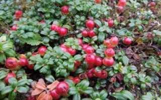 Брусника садовая: посадка и уход, выращивание