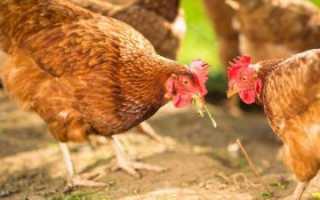Чем нельзя кормить куриц: рекомендации птицеводов