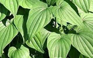 Диоскорея кавказская – лечебные свойства, польза, противопоказания