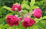 Роза морщинистая или роза ругоза: посадка, уход и выращивание в открытом грунте