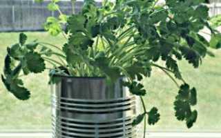 Секреты выращивания кориандра в горшке, зелень на подоконнике круглый год