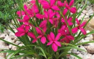 Родогипоксис: виды и выращивание — Легкое дело