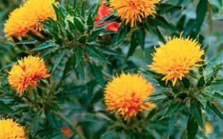 Выращивание сафлора
