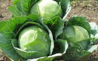 Как ухаживать за капустой в открытом грунте? ( Рекомендации )