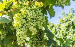 Виноград для начинающих: сорта, посадка и уход за саженцами, какой подобрать