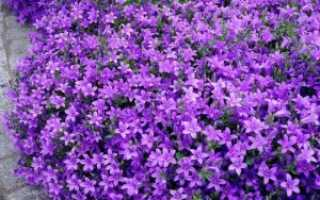 Колокольчик Пожарского: посадка, уход и выращивание многолетнего цветка из семян в домашнем саду