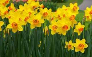 Почему не цветет нарцисс: устраняем причины