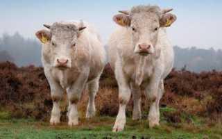 Бычок мясной породы: фото и обзор самых известных пород быков