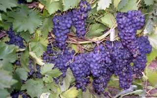 Обрезка винограда осенью для новичков: в 1, 2, 3 года, схема