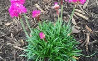 Армерия: особенности посадки и ухода за травянистым многолетником