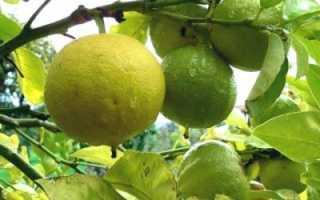 Бергамот: полезные свойства и противопоказания