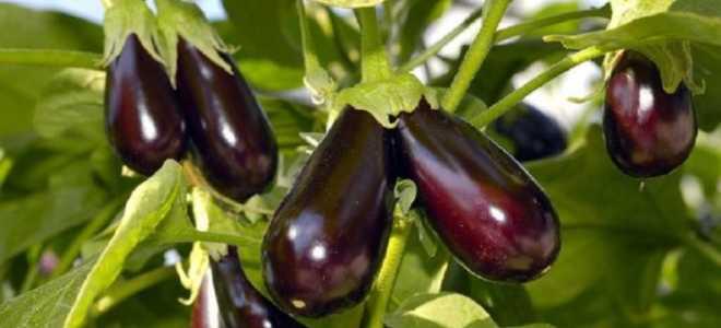 Сорт баклажан Черный принц, описание, характеристика и отзывы, а также особенности выращивания