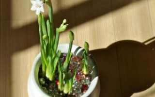 Выращивание фрезии в горшке, посадка и уход в домашних условиях