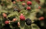 Агротехника выращивания ежевики