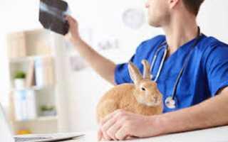 Болячки в ушах у кроликов, чем лечить? Виды ушных корост и болячек