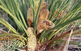 Замия комнатное растение уход и размножение Выращивание из семян