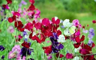 Однолетний душистый горошек: выращивание из семян, посадка и уход в открытом грунте