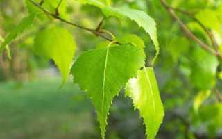 Листья березы: лечебные свойства и противопоказания, показания и рецепты
