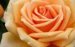 Чайно-гибридная роза «Валенсия» (Valencia): описание, фото