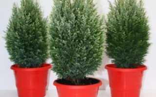 Почему сохнет кипарис, основные ошибки при уходе за растением