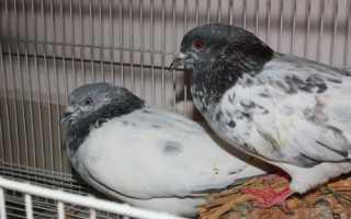 Пакистанские высоколетные голуби: фото, описание породы