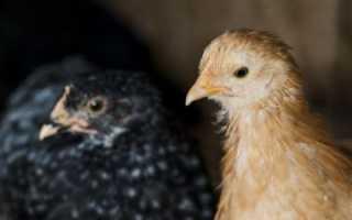 Понос у цыплят