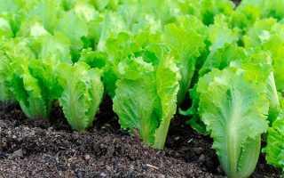 Салат латук: польза и вред, лечебные свойства и народные рецепты
