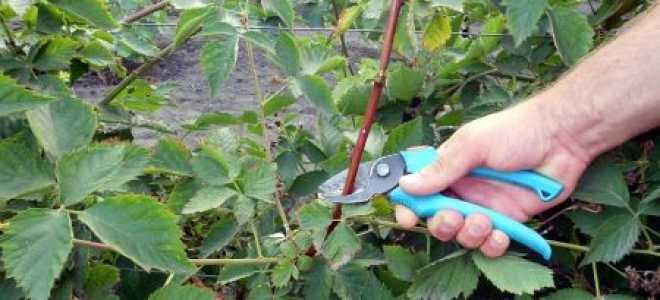 Обрезка ежевики осенью: как правильно обрезать куст перед зимой по схеме для начинающих?
