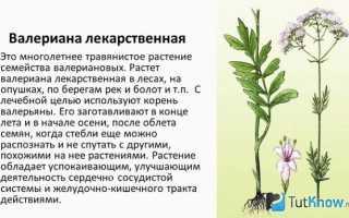 Описание, применение и свойства валерианы лекарственной