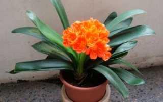 Секреты успешного выращивания кливии в домашних условиях