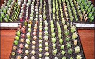 Как я научилась сеять кактусы