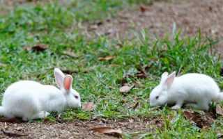 Спаривание и случка кроликов: возраст, проблемы, советы