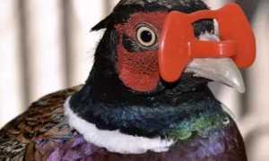 Очки для фазанов: зачем нужны, какие бывают, как надеть