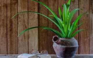 Панданус: описание растения, размножение делением и черенкованием, уход в домашних условиях