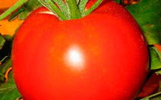Томат — Самара — F1, Характеристика и описание сорта, урожайность, фото
