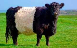 Галловейская порода коров: описание, фото, достоинства и недостатки