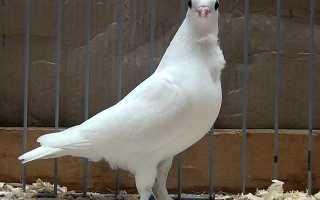 Голуби ижевские высоколетные, ижевские голуби (фото и видео)