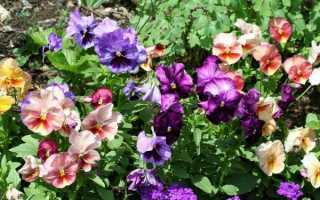 Цветы виола: виды и сорта