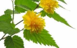 Керрия японская: посадка и уход за растением