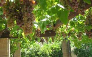 Арочный виноград: описание сорта, выращивание и уход