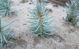 Голубая ель: размножение черенками, посадка голубой ели