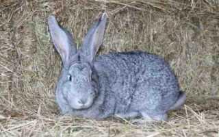 Кролики Советская шиншилла: преимущества и недостатки, бизнес на разведении