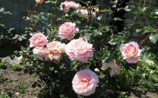 Парковая роза — Абрахам Дерби — (описание, отзывы, посадка, уход, фото)