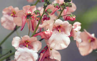 Ампельная диасция: посадка и уход в открытом грунте, фото, выращивание из семян