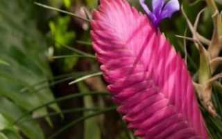 Тилландсия (Tillandsia): описание, виды с фото